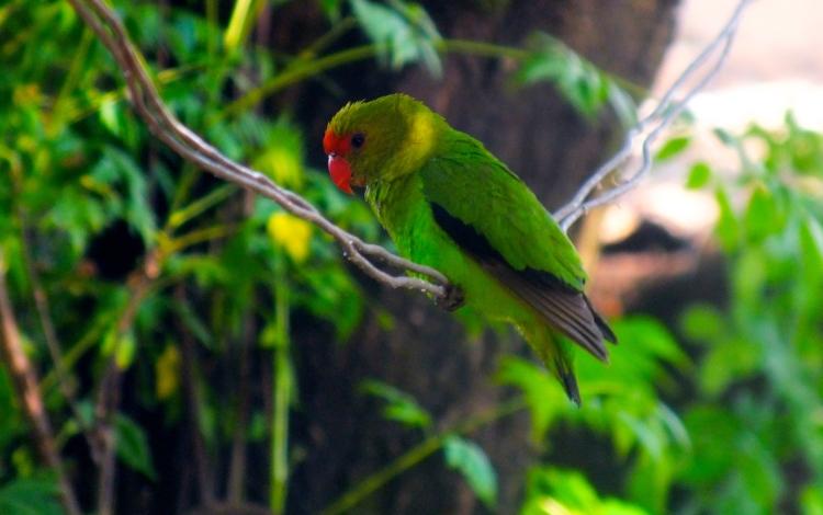 Afrikankaijanen eli black-winged lovebird bongattuna kotipihasta.