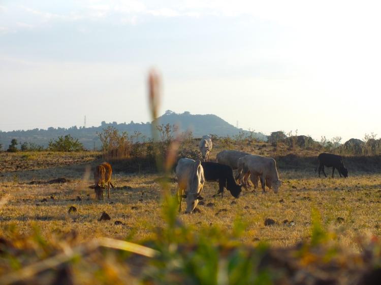 Karjaa palaamassa takaisin kotilaitumille auringonlaskun aikaan. Kuva: Atte Penttilä