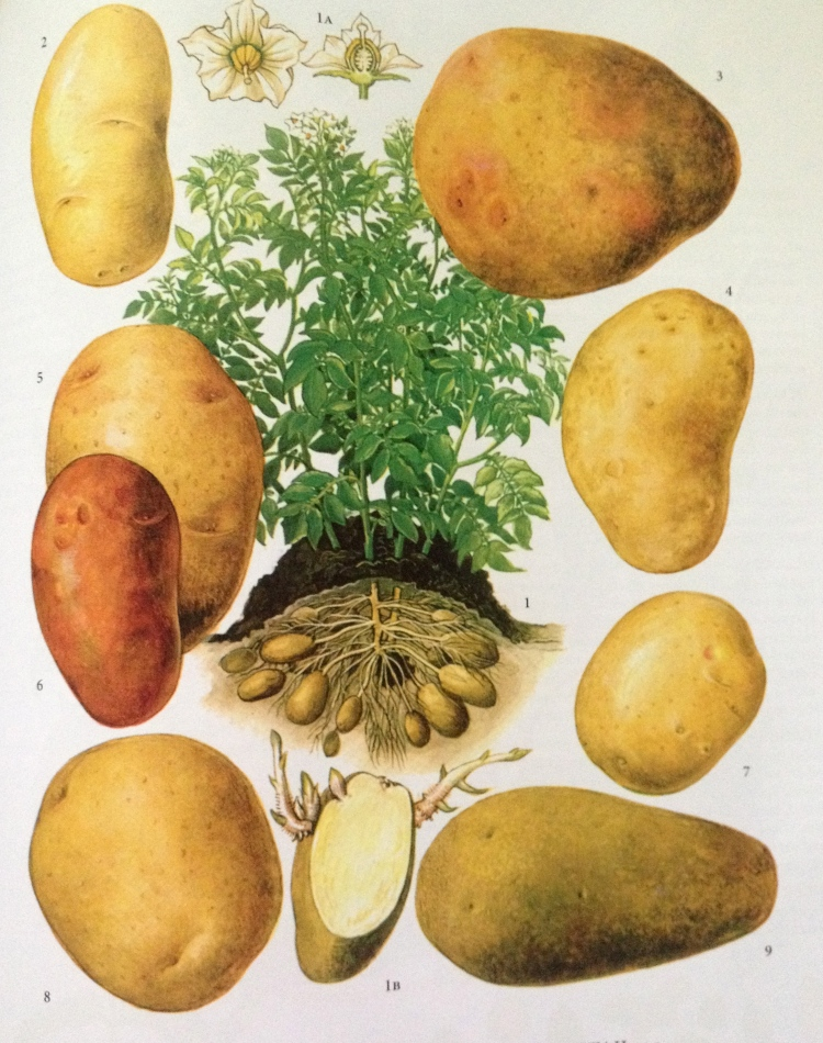 Peruna, Solanum tuberosum. Tama kuva on ihanasta kirjasta The New Oxford Book of Food Plants (J.G.Vaughan & C.A.Geissler). Mielettomat kuvat ja perustiedot kaikista maailman ruokakasveista.
