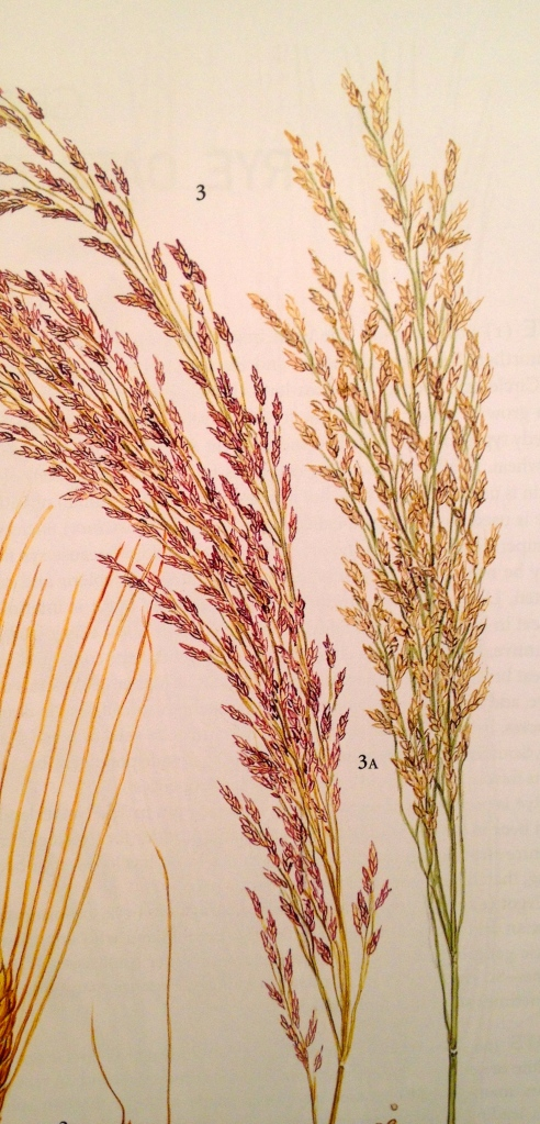 Teff (Eragrostis tef). Kuvan lähde:  The New Oxford Book of Food Plants (J.G.Vaughan & C.A.Geissler).