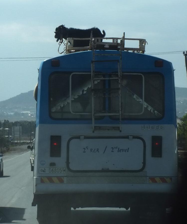Eläinkuljetusta.