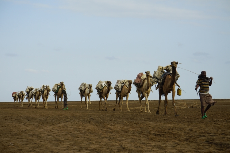 Then the camel caravans take it to Mekele. Photo: Pia Dubois